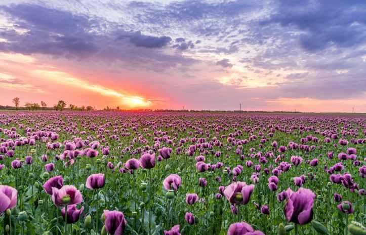Field of purple poppies
