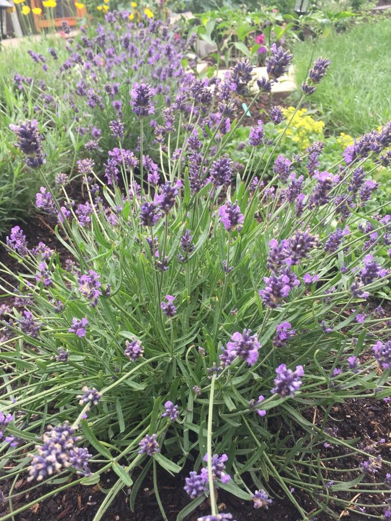 Lavender row of flowers