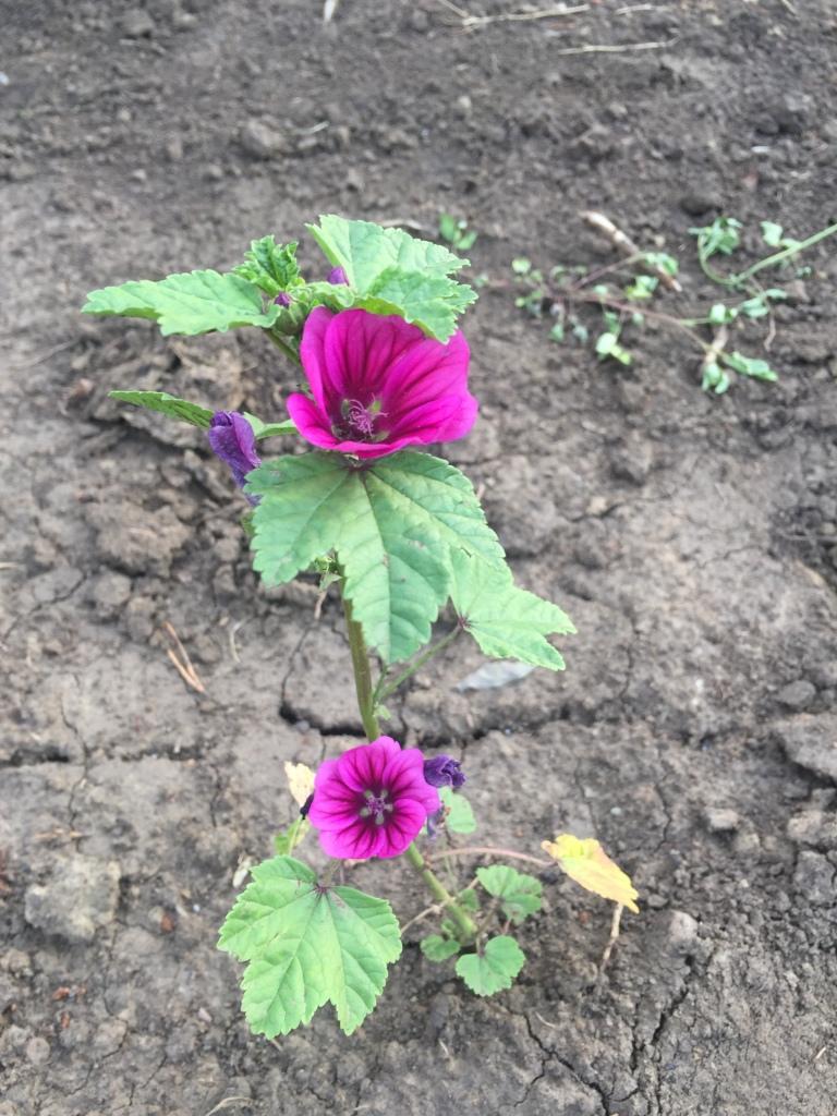 purple flower growing in clay dirt